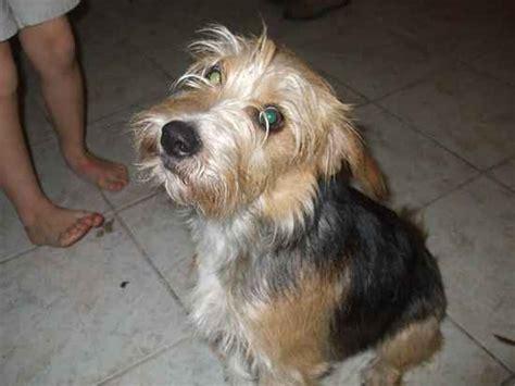 schneagle schnauzer  beagle mix info temperament