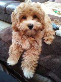 cavapoo poodle mix taps puppys and pictures