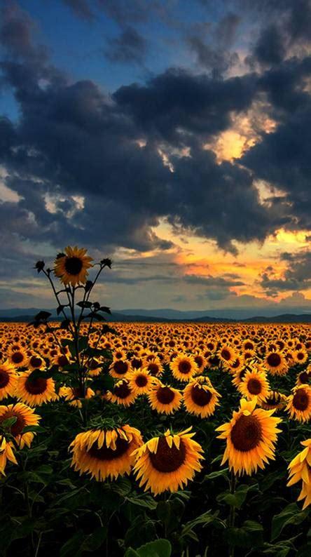 sunflower ringtones  wallpapers   zedge