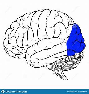 Occipital Lobe Of Human Brain Anatomy Side View Flat Stock