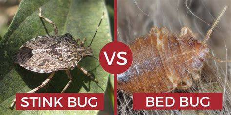 Do Bed Bugs Hop by Can Bed Bugs Fly Or Jump How Do They Move Pest