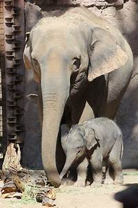 Albuquerque, Celebrates, New, Elephant, Calf, Baby, U2018jazmine