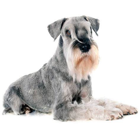 standard schnauzer dog breed   standard