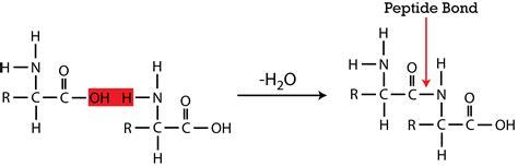 biochemical molecules ck 12 foundation