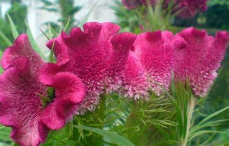 jual biji benih tanaman hias bunga bayam merah cenger ayam