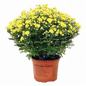Blumen Im Bauhaus : herbst chrysantheme aktion bei bauhaus angebot kalenderwoche ~ Michelbontemps.com Haus und Dekorationen