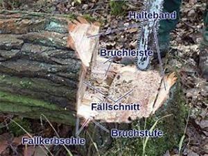 Baum Fällen Anleitung : baum f llen pflanzenfreunde ~ Yasmunasinghe.com Haus und Dekorationen