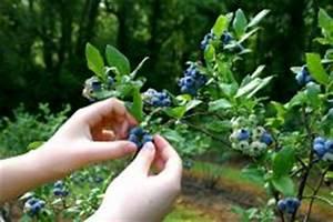 Heidelbeeren Im Kübel Pflanzen : heidelbeeren auf dem balkon so gelingt der anbau im topf ~ Watch28wear.com Haus und Dekorationen