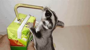 Sugar Glider Juice GIF - Find & Share on GIPHY
