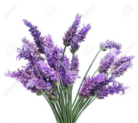 Bilder Mit Lavendel by Lavender Bunch Clipart Clipground