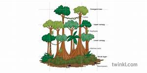 Rainforest Structure Diagram Labelled Trees Plants Ecosystem Geography Ks3