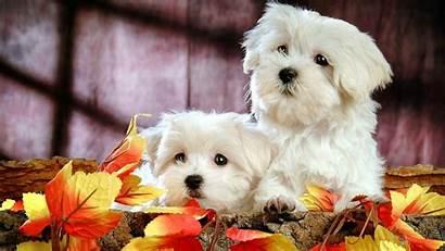 Desktop Wallpapers Puppies Bichon