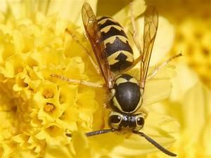 Bienen Und Wespen : echte wespen wikipedia ~ Whattoseeinmadrid.com Haus und Dekorationen