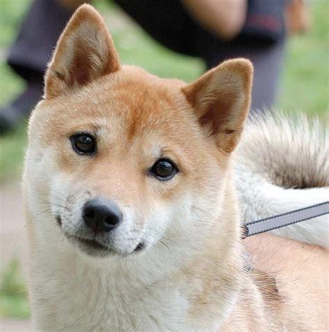 medium dog breeds  dont shed tap  link