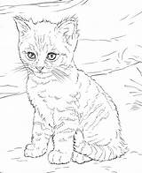 Coloring Pages Kitten Cat Realistic Adults sketch template