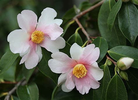 japanese names flower japanese flowers names www pixshark com images galleries with a bite