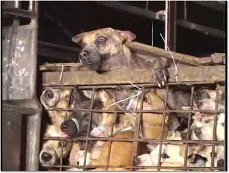 slaughter house dogs desperate eyes stop animal abuse