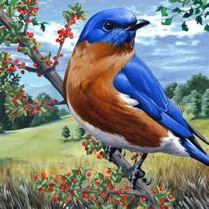 eastern bluebird facts information   american expedition