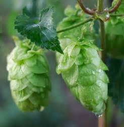 Michigan Hops Growing