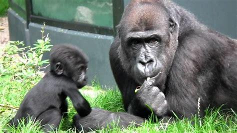 Gorilla Binti And Babyboy Bembosi Youtube
