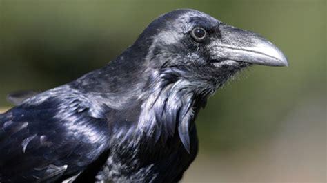 le corbeau n a pas une cervelle de moineau ga 239 asph 232 re