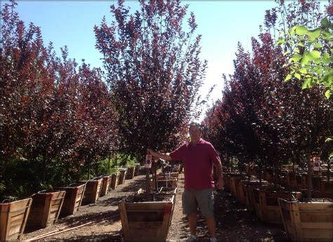purple leaf plum tree for sale a spec purple leaf plum trees