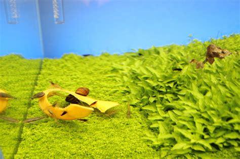 Aquascaping Forum - ohrgitterharnischwelse und garnelen fische