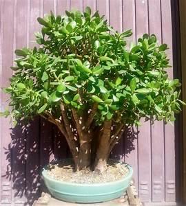 Chinesischer Geldbaum Kaufen : geldbaum bonsai in dossenheim pflanzen kaufen und ~ Michelbontemps.com Haus und Dekorationen