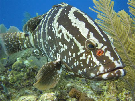 grouper nassau caribbean reef fish moon project coral reefs icon ncsu protecting region appliedecology cals edu fishing scientist iconic stephanie