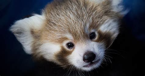 red pandas  adorable   trouble   york times