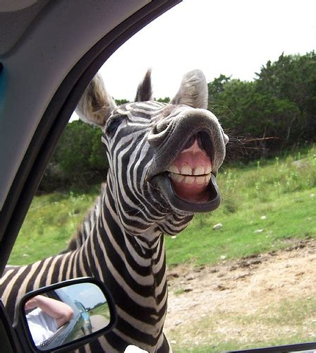 funny zebra pictures  funny world
