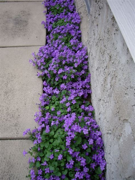 perennial plant care 736 best images about perennials on pinterest gardens delphiniums and lavender