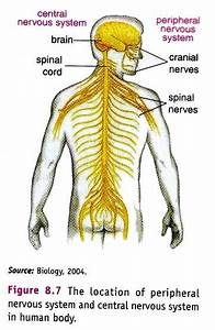 Peripheral Nervous System  Pns