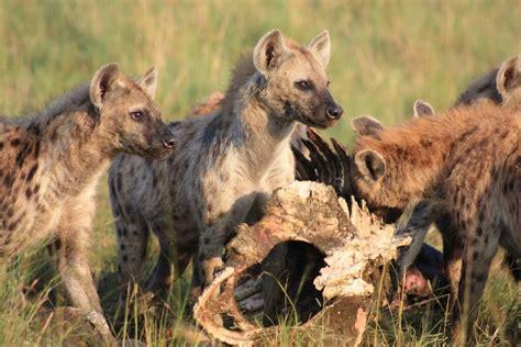 leader clues   animal kingdom