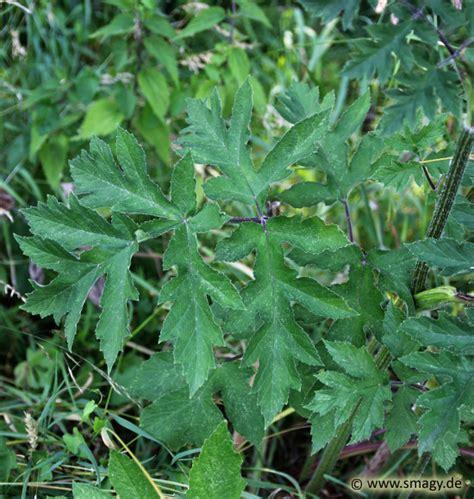smagy pflanzen insekten heilkraft riesen baerenklau