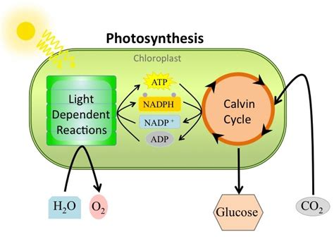 Why Does Darkness Affect The Light Independent Reactions Of Photosynthesis by How Would You Explain How The Light Independent Reactions