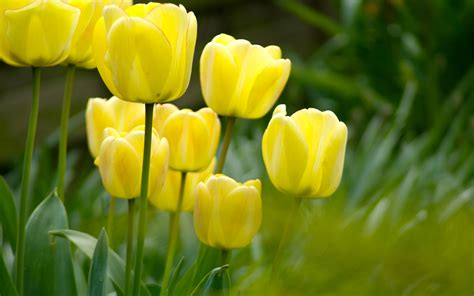 Tulip Image Desktop by Tulips Flower Wallpapers Pixelstalk Net