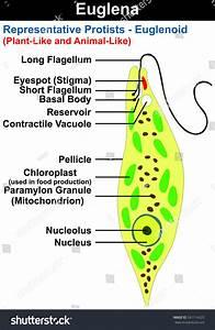 Euglena Cross Section Diagram Representative Protists