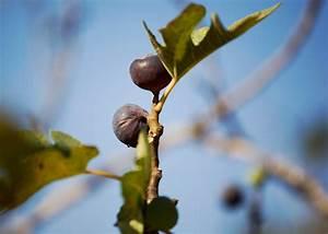 Hanfpalme Braune Blätter : feige bekommt braune bl tter woran kann 39 s liegen ~ Lizthompson.info Haus und Dekorationen