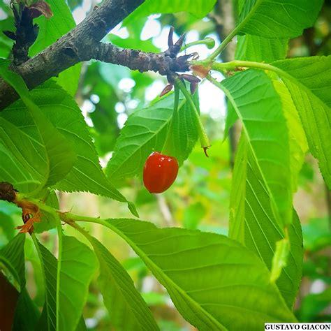 Viveiro Ciprest - Plantas Nativas e Exóticas: Cereja ...