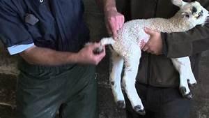 Lamb tail docking