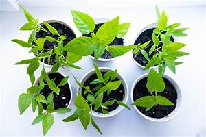 Organic Potting Soil  The Best Mix For Peppers In Pots