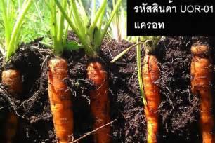 เมล็ดพันธุ์แครอท - ThailandSeedShop
