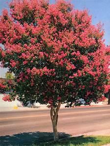 Arbustes Décoratifs à Fleurs : lagerstroemia prix ~ Premium-room.com Idées de Décoration