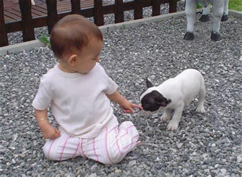 hundemantel französische bulldogge franz 195 182 sische bulldogge welpen zuverkaufen
