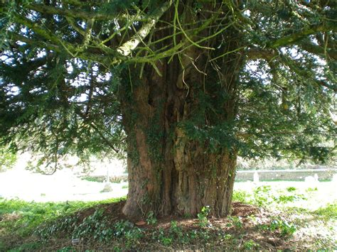 pictures of yew trees yew tree