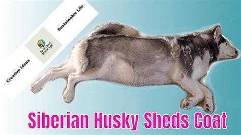 shedding puppy coat siberian husky shedding blowing coat