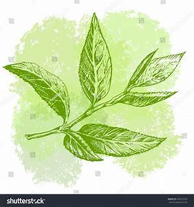 Green Tea Leaf Hand Drawing Sketch Stock Vector 433675276 ...