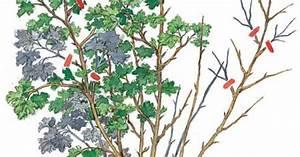 Rote Johannisbeeren Schneiden : erntezeit f r johannis und stachelbeeren mein sch ner ~ Lizthompson.info Haus und Dekorationen