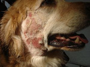 natural treatment canine dermatitis images